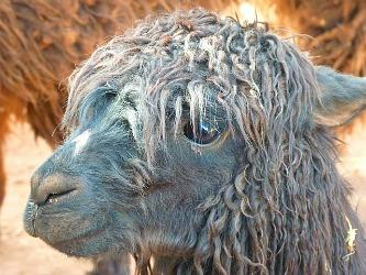 Alpaca with a dodgy 80s spiral perm