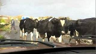 A herd of cows getting too close to an Austin Maxi