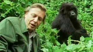 David Attenborough up close with a female mountain gorilla in Life On Earth (1979)